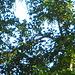 Wer sieht den Schwarzspecht auf der Unterseite des Astes hängen ? (Kopf rechts, langer Schnabel zeigt senkrecht nach oben.)