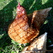 Hier ein niedersächsisches Huhn