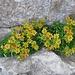zwischen Felsspalten erfreuen uns Farbtupfer; hier der Mauerpfeffer ...
