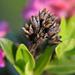 Rhododendron ferrugineum - Rostblättrige Alpenrose, Rust-leaved Alpenrose, Rododendro rosso, Cresta-cot cotschna ([http://www.hikr.org/gallery/photo59587.html Blatten])