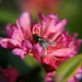 Rhododendron ferrugineum - Rostblättrige Alpenrose, Rust-leaved Alpenrose, Rododendro rosso, Cresta-cot cotschna ([http://www.hikr.org/gallery/photo59587.html Blatten])