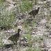 """Im Aufstieg auf dem Horse Creek Trail - Junges """"Geflügel"""" (Felsengebirgshühner?) am Wegrand."""