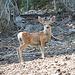 Im Aufstieg auf dem Horse Creek Trail - Junger Hirsch direkt am Wegrand, auch seine Mutter wartet in unmittelbarer Nähe.