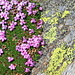 Pink and Yellow: moss campion (Silene acaulis, Stengelloses Leimkraut) and the yellow map lichen (Rhizocarpon geographicum)