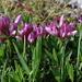 Alpine clover (Trifolium alpinum, Alpenklee)