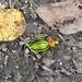 Ein herrlicher Käfer ! :-)<br />Siehe auch [http://www.hikr.org/gallery/photo274445.html?user_login=Alpenorni&photo_order=photo_pop hier] : Ein goldglänzender Laufkäfer, mit schnellen Schrittchen huscht er durchs Laub.