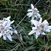 Edleweiss
