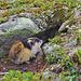 Überall im Fjäll ist der Kot der Lemminge zu sehen
