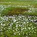 Scheuchzers Wollgras im Moor (Eriophorum scheuchzeri)