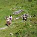 """""""Steil(er)"""" geht's hinauf zur Alpe HinderTschuggi."""