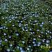 Der himmelblaue Persische Ehrenpreis (Veronica persica)