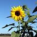 Sonnenblume bei Traumwetter