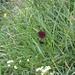 Schwarzes Männertreu (Nigritella rhellicani, Nigritella nigra)