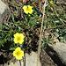 drei kleine gelbe Schönheiten