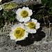 Ranuncolo dei ghiacciai (Ranunculus glacialis)