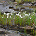 Bei der Schutzhütte am Kårsåjaure rasten wir. Zeit, um Wollgräser zu fotografieren (Eriophorum scheuchzeri)....