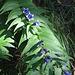 Gentiana asclepiadae<br />Gentianaceae<br /><br />Genziana asclepiade.<br />Gentiane à feuilles d'asclépiade.<br />Schwalbenwurz-Enzian.<br />