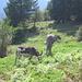 Un mulo pezzato sul sentiero che scende a Fidaz.