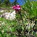 """Geschnäbeltes Läusekraut """"Pedicularis r-c"""", Vorkommen im Kalk der Ostalpen"""