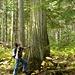 Riesen-Cedartree