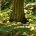 Maples und Cedars