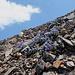 Im Aufstieg zu Mount Dana - Unweit des Gipfels: viel Geröll und Sky Pilots (Polemonium eximium).