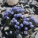 Im Aufstieg zu Mount Dana - Im Geröll wachsen Sky Pilots (Polemonium eximium). Diese kommen in der kalifornischen Sierra Nevada bis in Höhen von ca. 4.200 m vor.