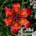 Feuerlilie, gar nicht so selten im Gebiet