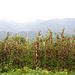 Apfleplantage am Kalterer See