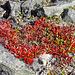 Wir steigen wieder ab und bewundern unterwegs die roten Farbtupfer der Alpen-Bärentraube (Arctostaphylos alpinus)
