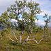 Der Baum, der das Fjäll prägt: die Moorbirke (Betula pubescens)
