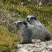 Hoary Marmot Päärli