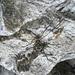 """""""Ragno delle creste"""" dalle zampe esageratamente lunghe"""