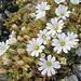 A 3000 metri a metà settembre resistono ancora questi fiori
