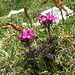 "Farbenkräftig, das ""Geschnäbelte Läusekraut"" Pedicularis rostrato-capitata"