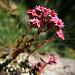 Sempervivum arachnoideum - Spinnwebige hauswurz, Co-web Hause-leek, Semprevivo ragnateloso, Semperviv tessì