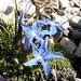 wahrscheinlich handelt es sich um den Triglav-Enzian (Gentiana terglouensis)