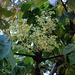 Unreife Früchte einer Japanische Aralie (Aralia elata). Aralia elata ist ursprünglich in Russland (Ostsibirien), China (Mandschurei), Japan und Korea beheimatet. Die Japanische Aralie wird auf der gesamten Nordhalbkugel in Gärten und Parks kultiviert.