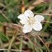 Blümchen am Wegrand, Studentenröschen, Parnassia palustris