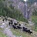 Ein Teil einer Herde von 200 Ziegen unterwegs