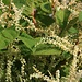 Der Japanischer Staudenknöterich (Fallopia japonica) wurde 1825 nach Europa als Zierpflanze eingeführt und hat sich seither fast auf dem ganzen Kontinent ausgebreitet. An einigen Stellen verdrängt sie die Einheimischen Pflanzen.