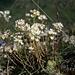 Saxifraga paniculata (Rispen-Steinbrech)