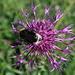 Greater Knapweed (Skabiosen-Flockenblume, Centaurea scabiosa probably ssp. Alpestris)
