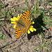 """Auf den Grashalden oberhalb Rosswald flogen noch viele Schmetterlinge; hier der """"Kleine Perlmuttfalter"""" (Issoria lathonia)"""