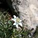 Leontopodium alpinum, Edelweiss
