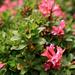 Rhododendron hirsutum, Bewimperte Alpenrose, Hairy Alpenrose, Rododendro peloso, Cresta-cot pailusa [http://www.hikr.org/gallery/photo61112.html Blatten] (niederfrequent)
