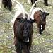 [http://www.walliser-schwarzhals.com/info.htm Walliser Schwarzhalsziegen]. Diese Ziegengattung ist speziell im Wallis angesiedelt. Mehr zu dieser Rasse auf: [http://www.walliser-schwarzhals.com/info.htm Link Walliser Schwarzhalsziegen]