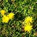 Roslenalp - letzte Herbstblumen