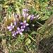 Gentiana campestris, Gentianaceae