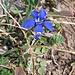 Gentiana bavarica, Gentianaceae